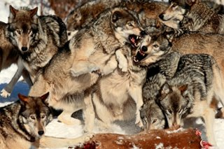 Hungry Wolves